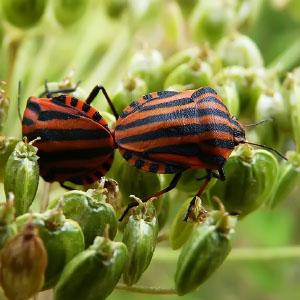 Orden Hemiptera