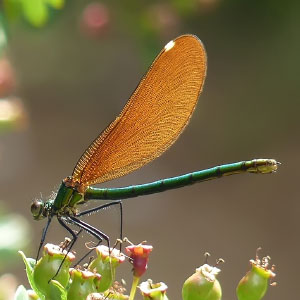 Orden Odonata