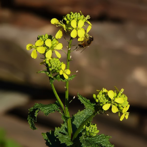 Orden Brassicales