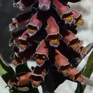 Familia Scrophulariaceae
