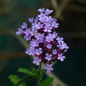 Familia Verbenaceae