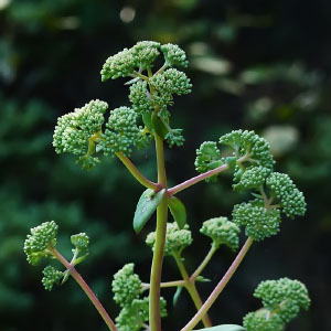 Orden Saxifragales