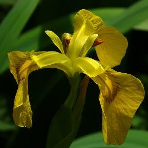 Familia Iridaceae