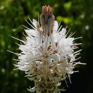 Familia Xanthorrhoeaceae